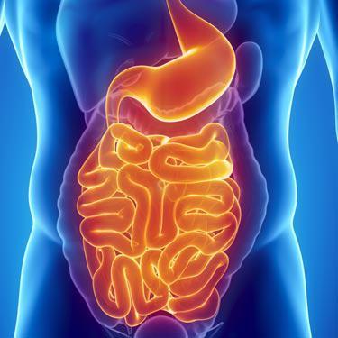orange and blue technical illustration of digestive system